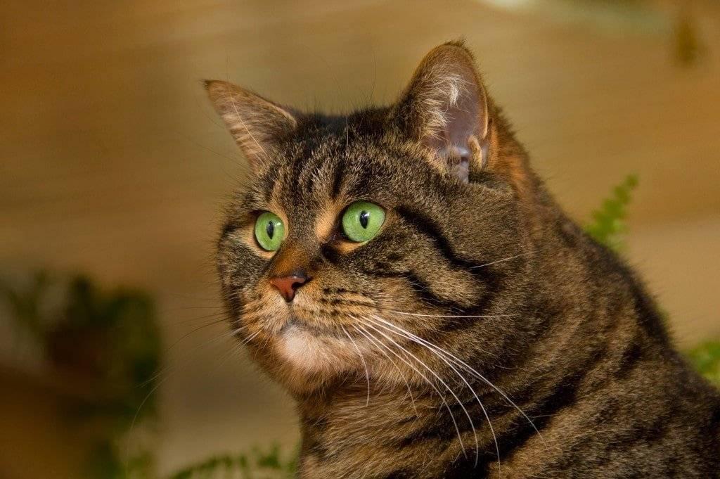 Рыжая кошка с зелеными глазами какая порода?