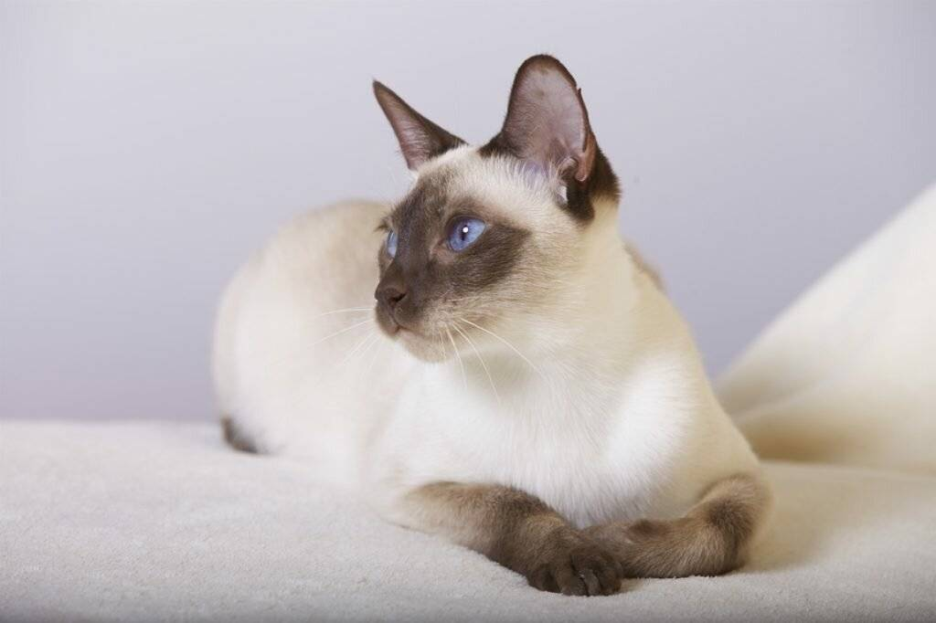 Тайская кошка (тайский кот): описание породы с фото и видео