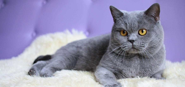 Беременность и роды у британской кошки