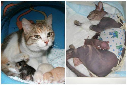 Как помочь кошке родить в домашних условиях: стимулировать затяжные роды, облегчить процесс