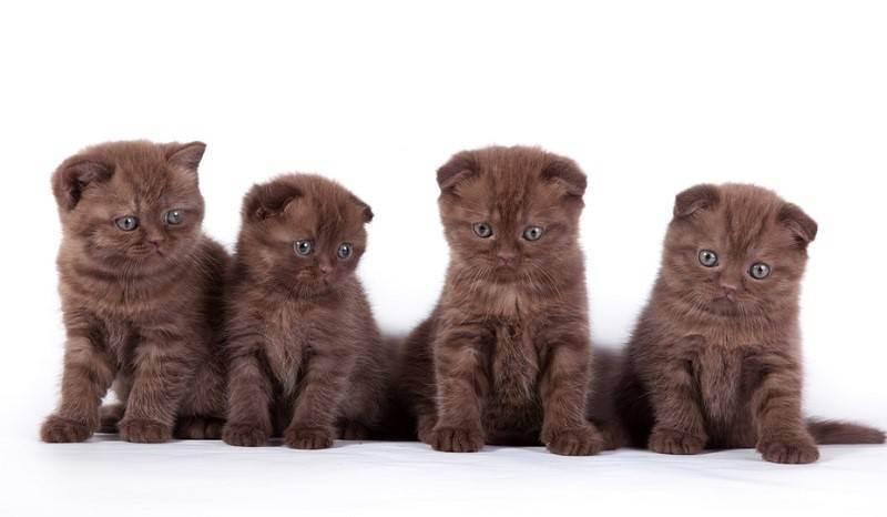 Кошка шотландская вислоухая: характер, фото, отзывы