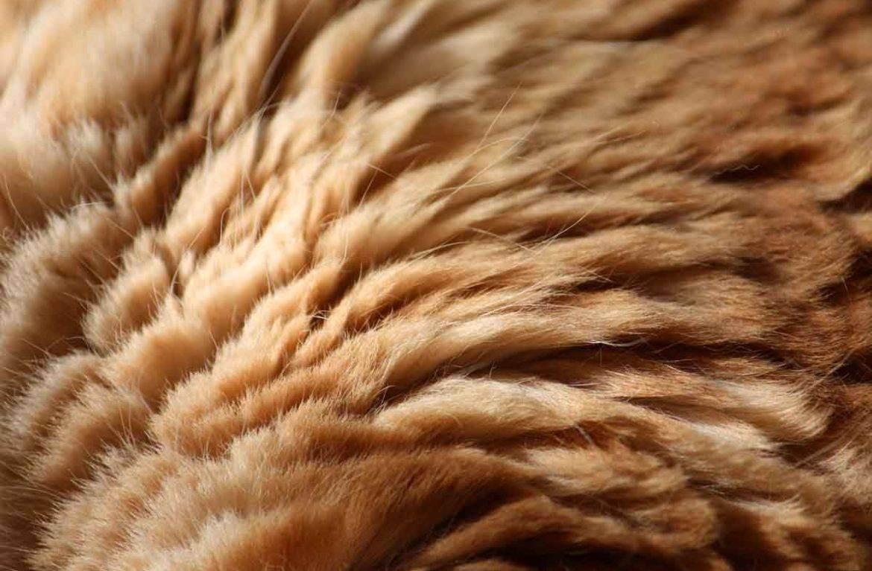 Олеся пуховабританские короткошерстные кошки