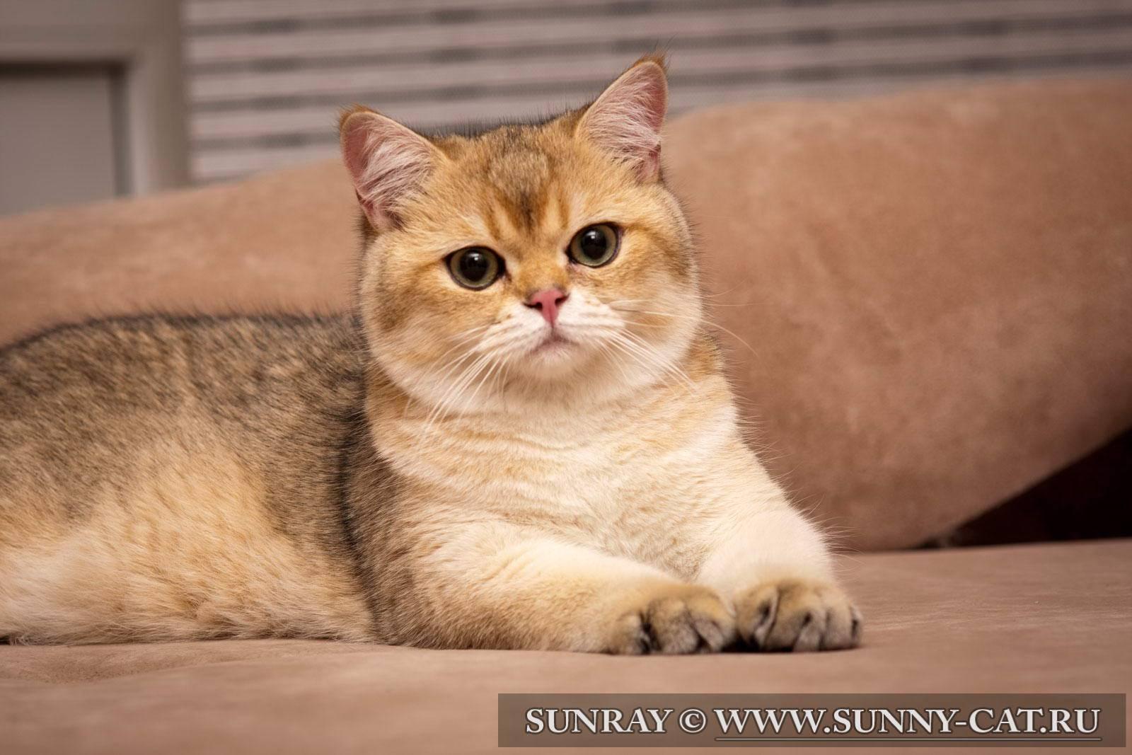 Британская шиншилла - порода кошки   характер, отзывы (с фото и видео)