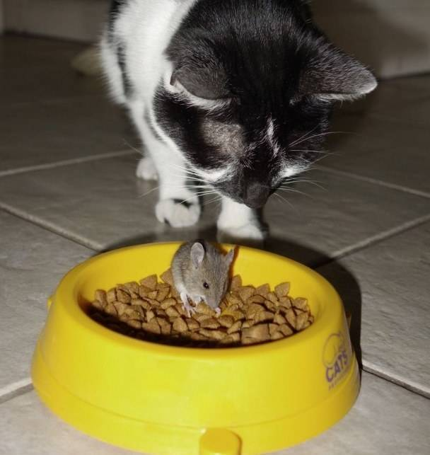 Кот съел отравленную мышь: что будет и что делать?