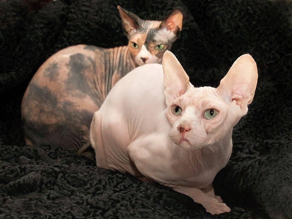 Кошка породы эльф: сказочная нежность
