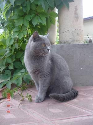 Кошки британской породы: фото, описание. вязка кошек британской породы