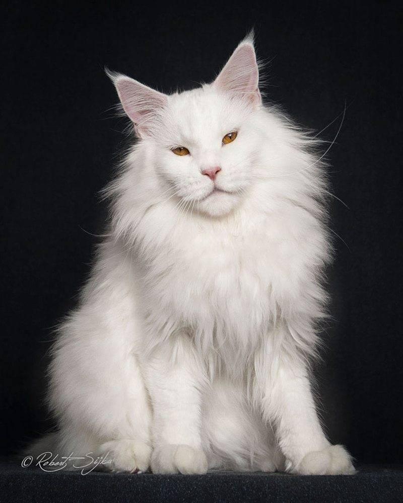 Мейн кун - 84 фото очень большой кошки родом из северной америки