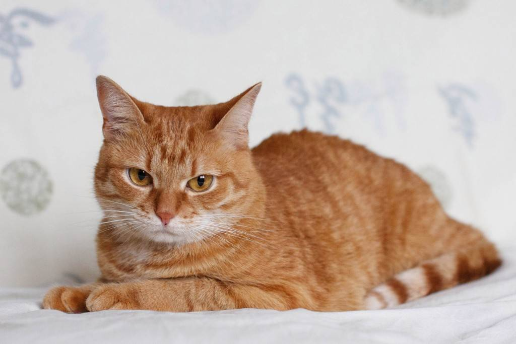 Рыжий кот (31 фото): какими бывают породы таких кошек? что пушистые рыжие коты несут в дом? маленький рыжий котенок с зелеными глазами