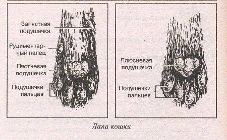 ᐉ лапки кошки, кота и котенка: как устроены, могут ли кошки потеть через лапки - kcc-zoo.ru
