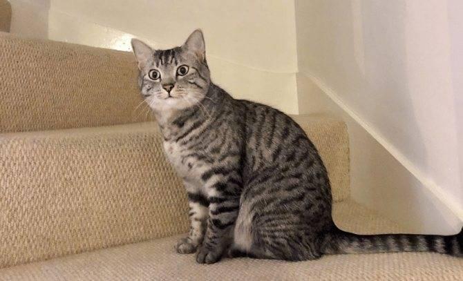 Самые дорогие породы кошек в мире: описание, фото, цены