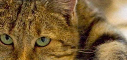 У кота пропал голос - почему и что делать?