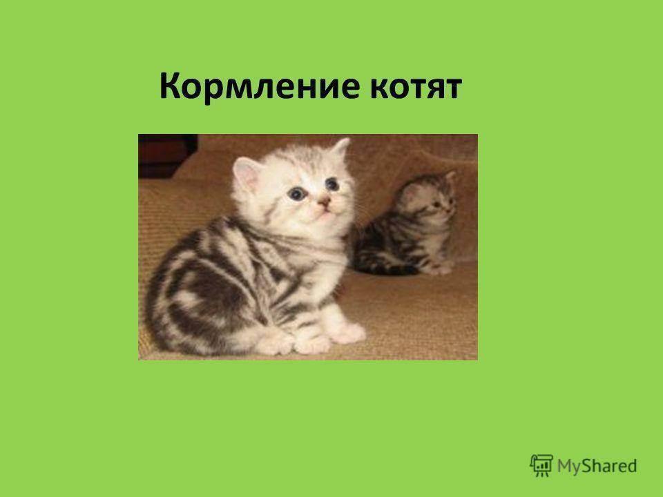 Меню на день для британских котят 2 месяца