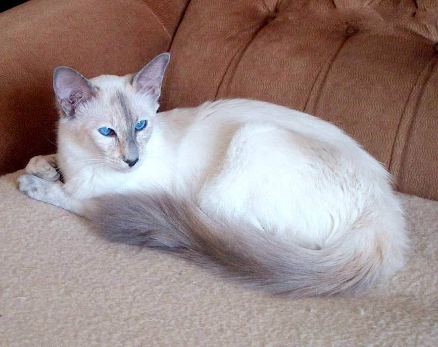 Балинезийская кошка: характер, как купить, уход за балинезийской породой кошек