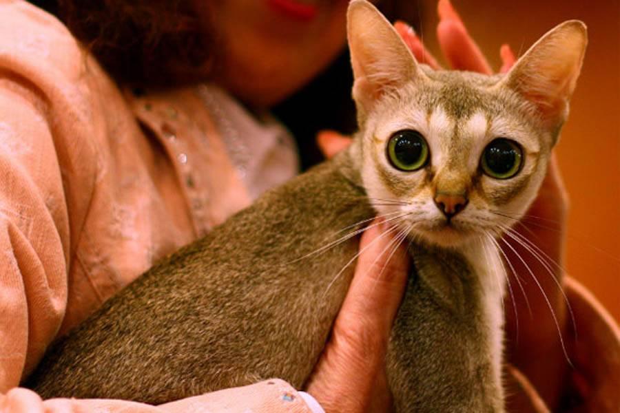 Породы кошек с большими ушами и вытянутой мордой: список и описание