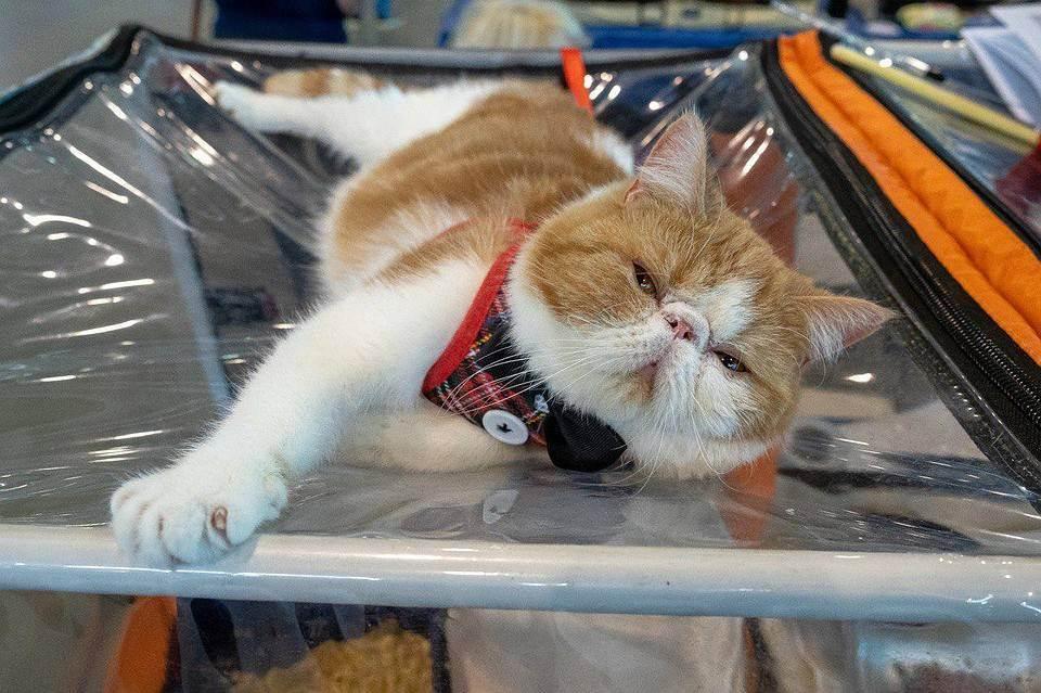 Как принять участие в выставке кошек