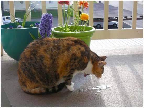 Кошку вырвало кормом и шерстью