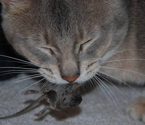 Отравление кошки крысиным ядом: симптомы, что делать, лечение, уход
