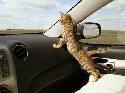Как перевезти кошку на дальнее расстояние с минимальными осложнениями?