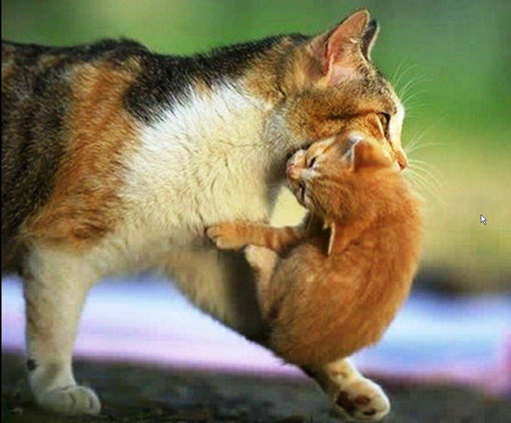 Почему кошка таскает котят? кошка несет котенка в зубах.