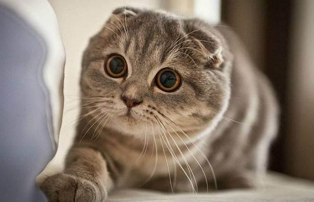 В каком возрасте можно кастрировать кота шотландца?