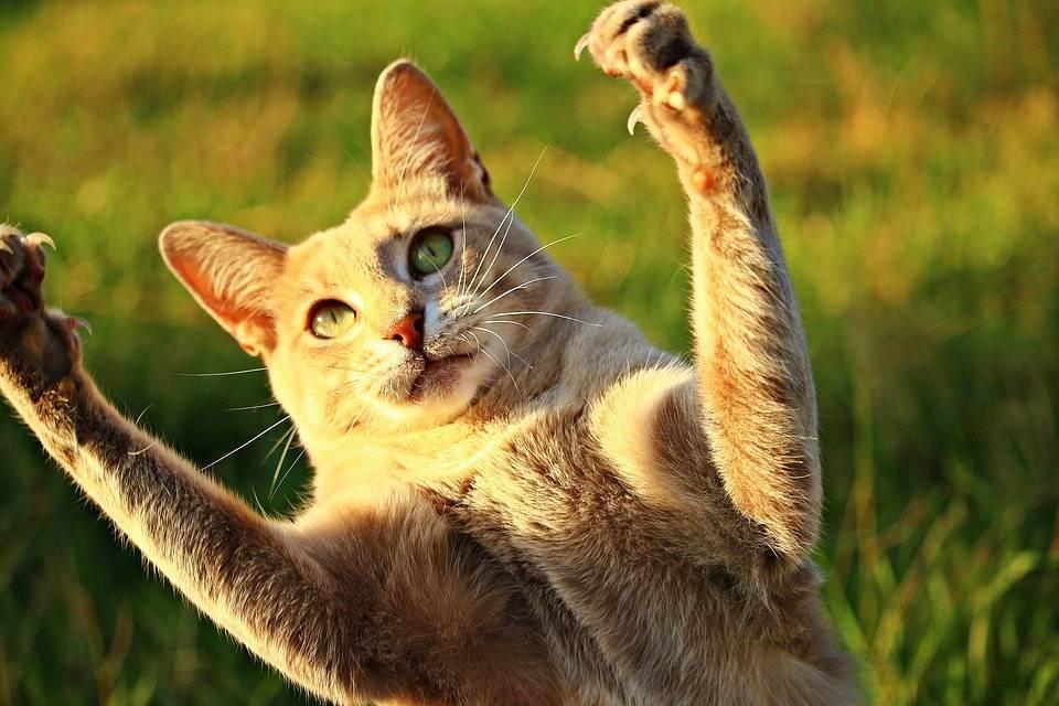 Онихэктомия - удаление когтей у кошки