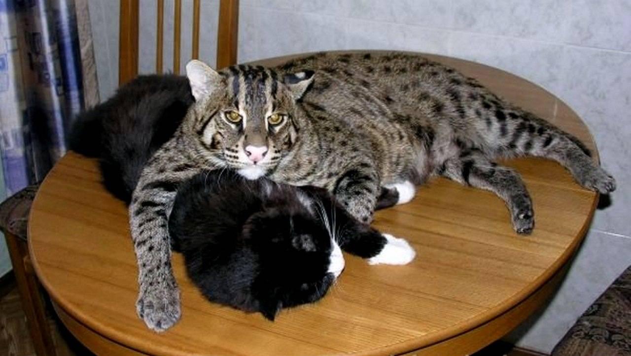 Описание породы кошек сноу-шу с фото, особенности содержания, рекомендации по выбору котят