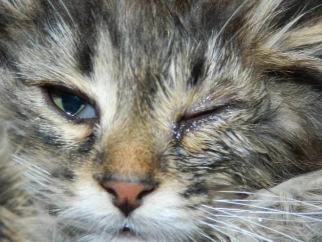Что делать, если у кошки слезится один глаз?