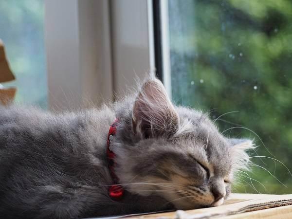 Почему шотландский и британский кот сопит и храпит во сне? почему кот храпит во сне и дёргает лапками почему храпят коты