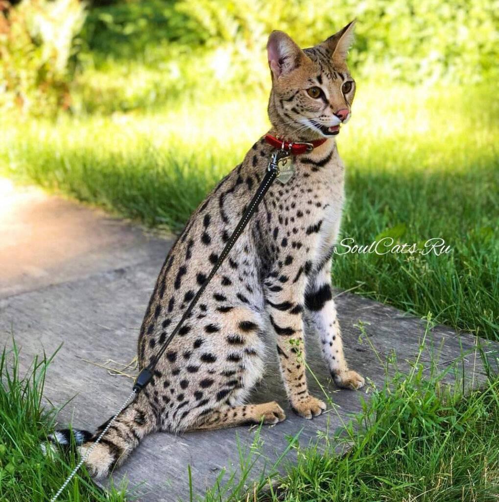 Кот Сервал — подробное описание породы