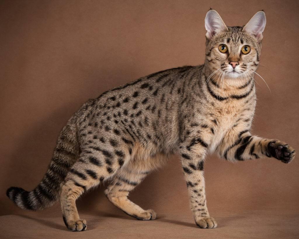 Порода больших кошек: гигантские домашние любимцы - kot-pes