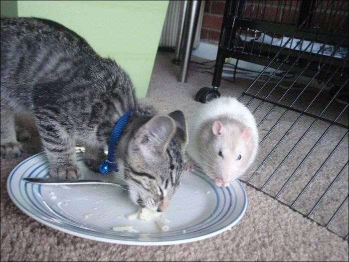Любопытная загадка: почему не существует корма для кошек со вкусом мышей