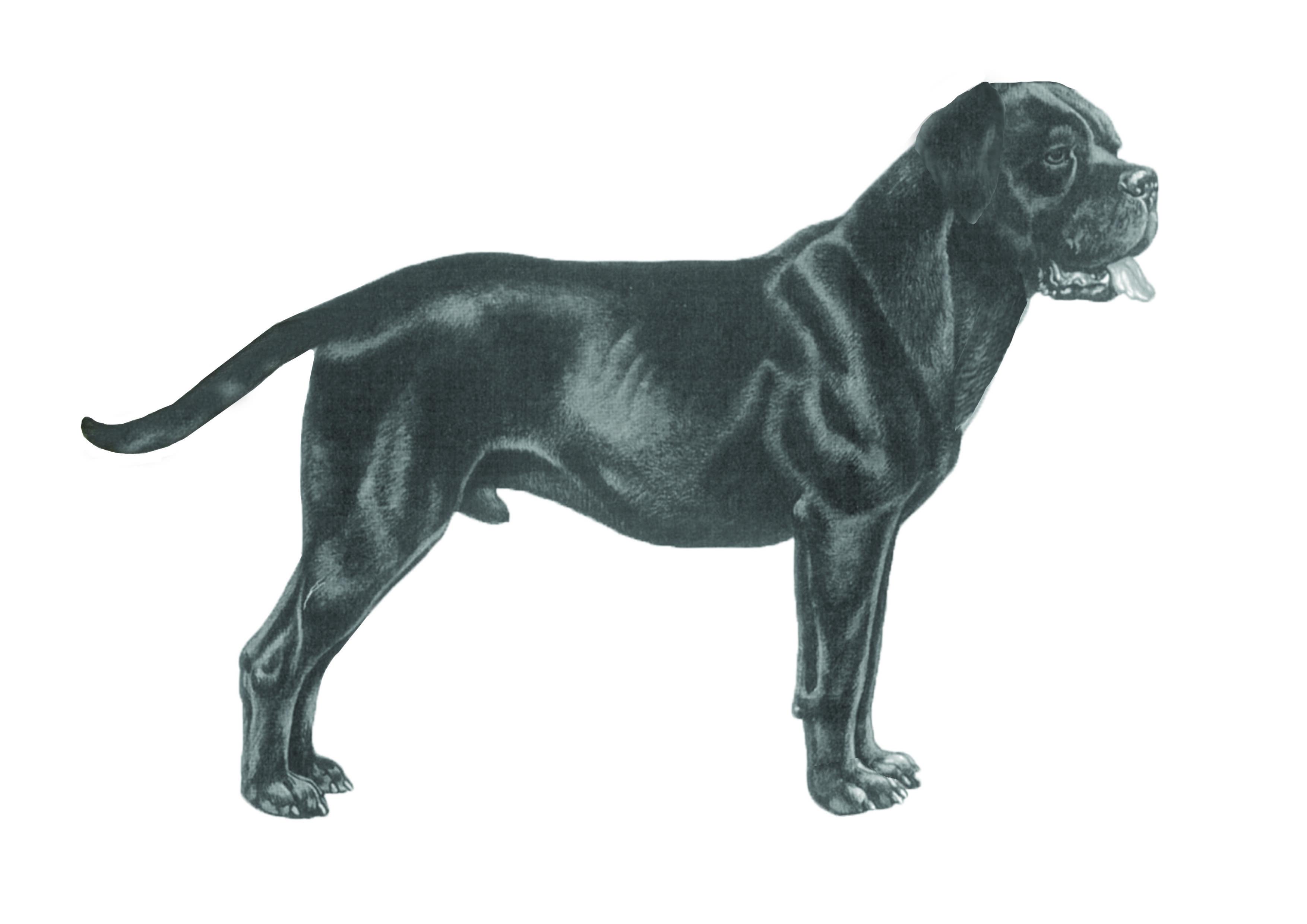Подробная характеристика породы итальянских собак кане корсо: особенности