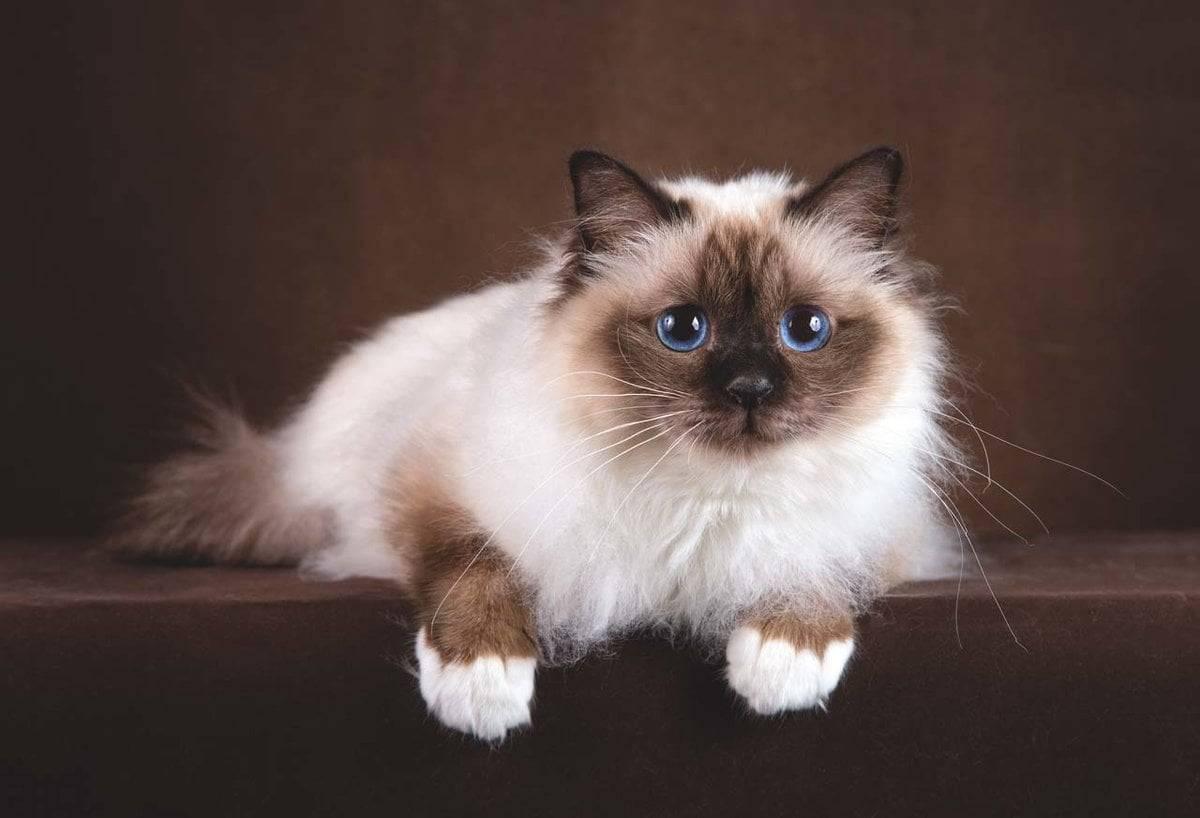 Сиамская кошка - описание породы и характер фото ...