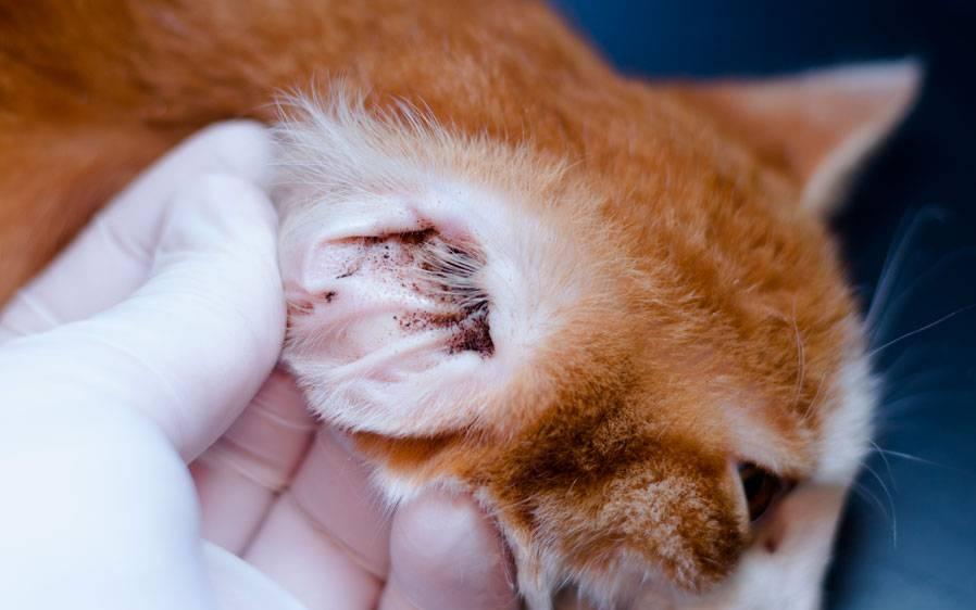 Ушной клещ у кошек: лечим дома