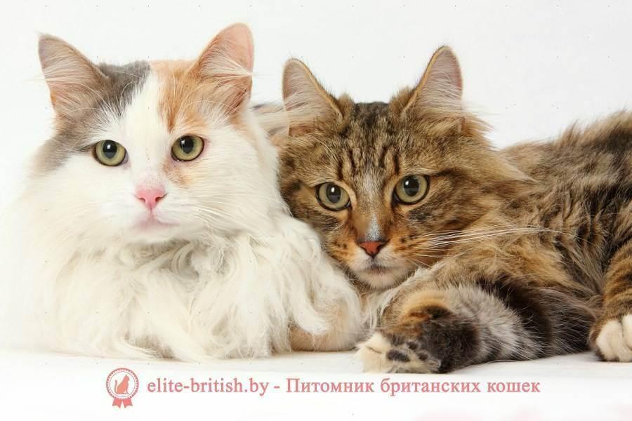 Вислоухая кошка и кот: можно ли сводить их?