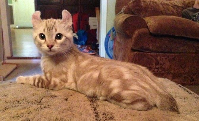 Обзор кошек породы хайлендер