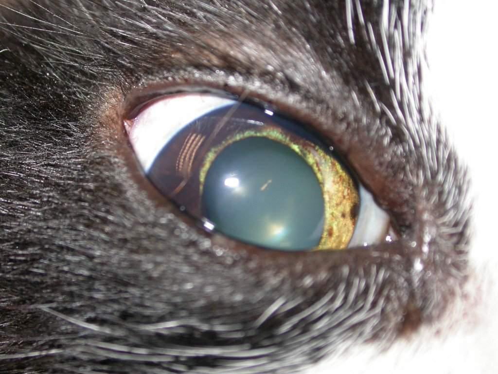 Глаза кошечки – особенности строения и восприятия органа зрения у кошачьих