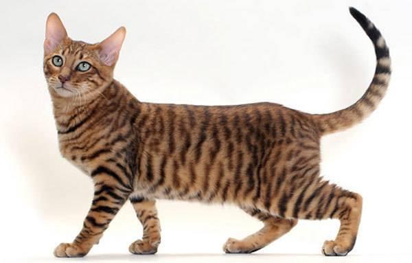 Европейская короткошёрстная кошка: описание характера и внешности, уход за питомцем и его содержание, фото кота