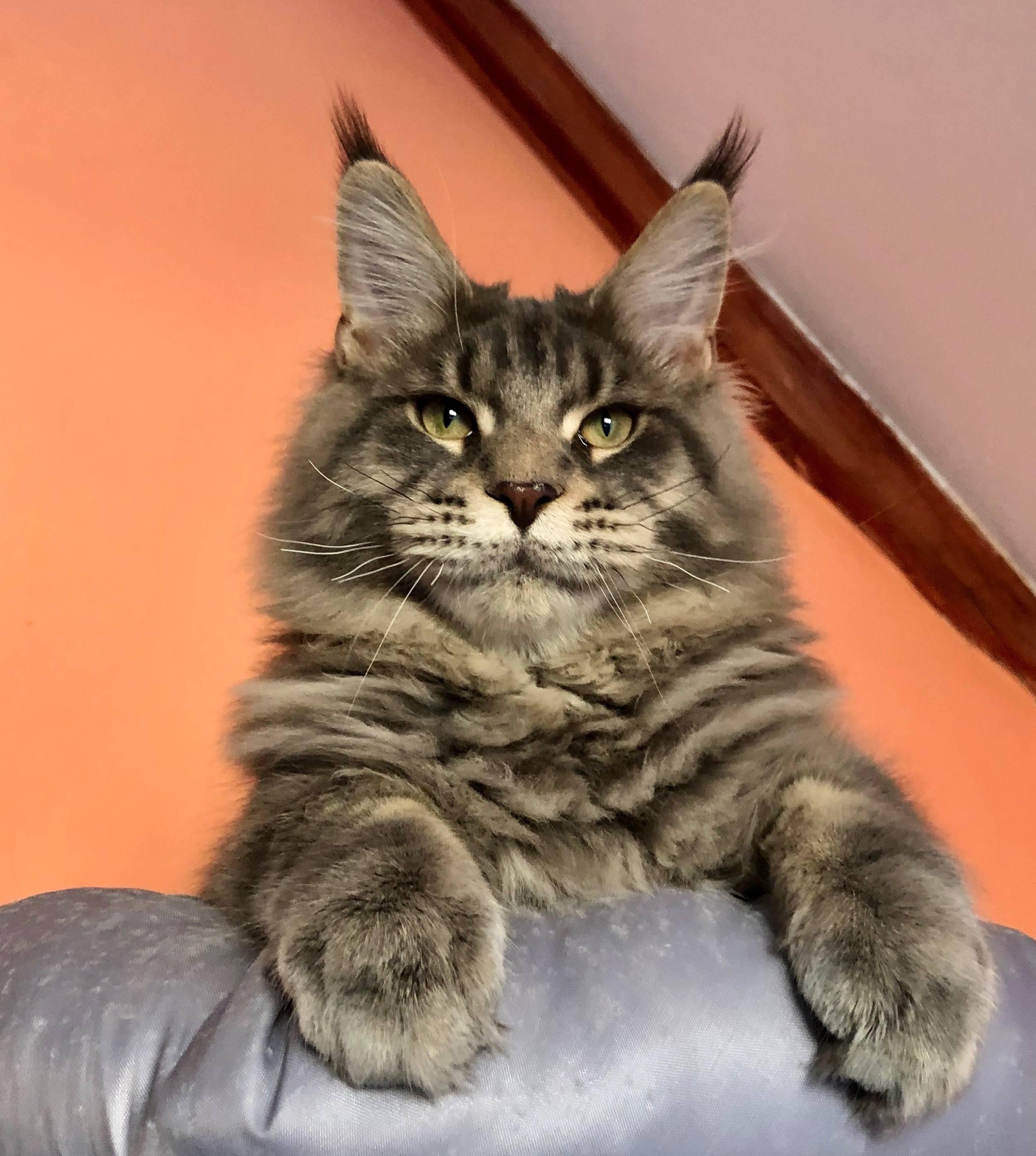 Сколько стоит котенок мейн куна: фото, цена в России