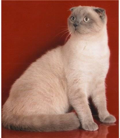 Описание породы сиамская кошка – достоинства и недостатки характера, интересные факты