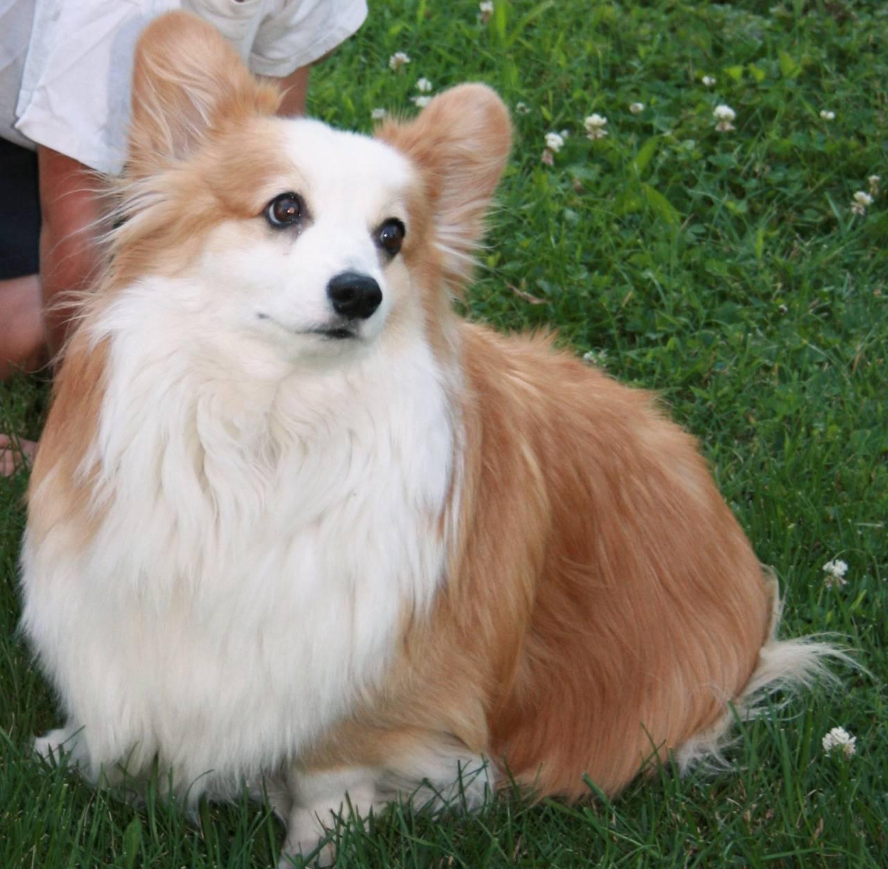 Отзывы владельцев о породе собак «вельш-корги»: описание особенностей и правила содержания питомцев