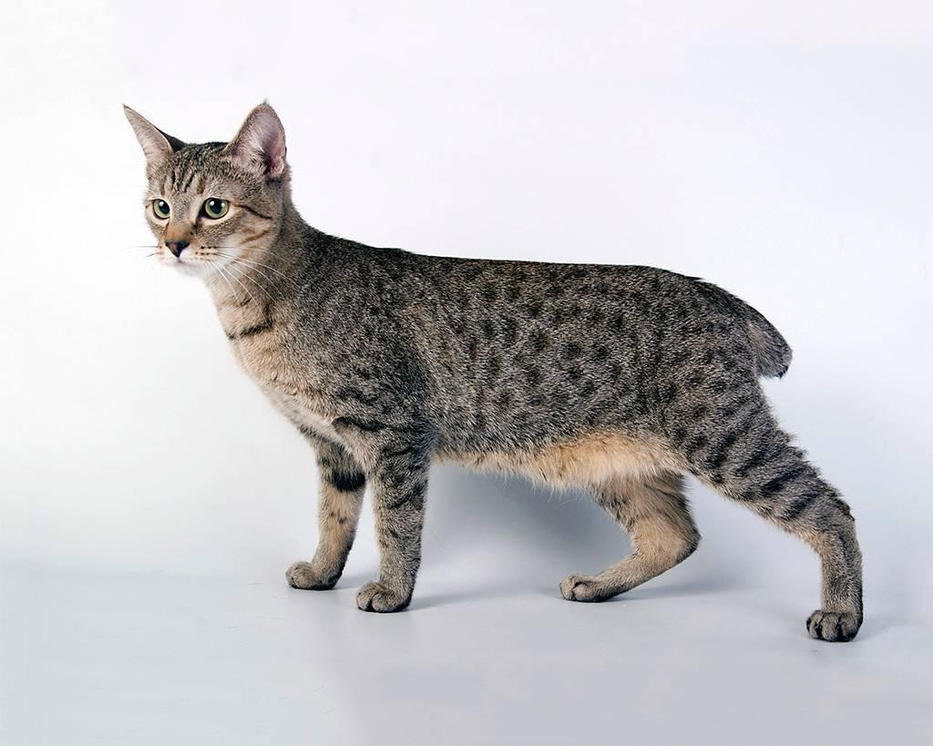 Породы кошек без хвоста — разновидности и особенности