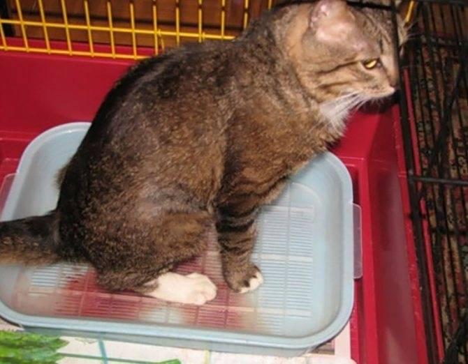 Мочекаменная болезнь кошек: симптомы, лечение и профилактика, чем кормить