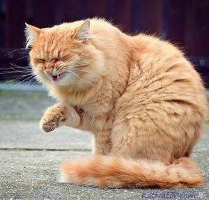 У кошки не проходит насморк. насморк у кошек: причины и лечение