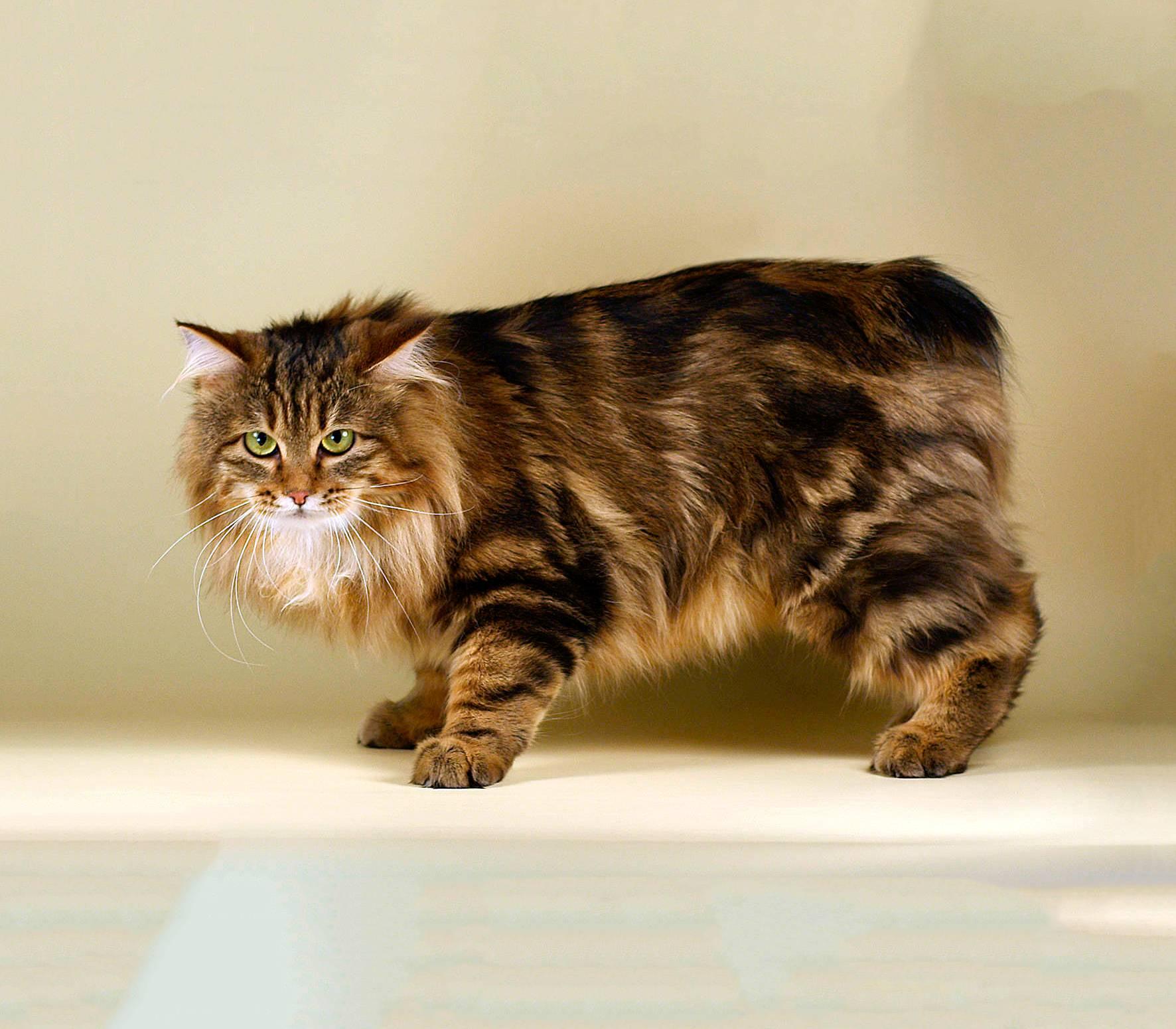 Порода кошек бобтейл – особенности содержания и фото домашнего любимца