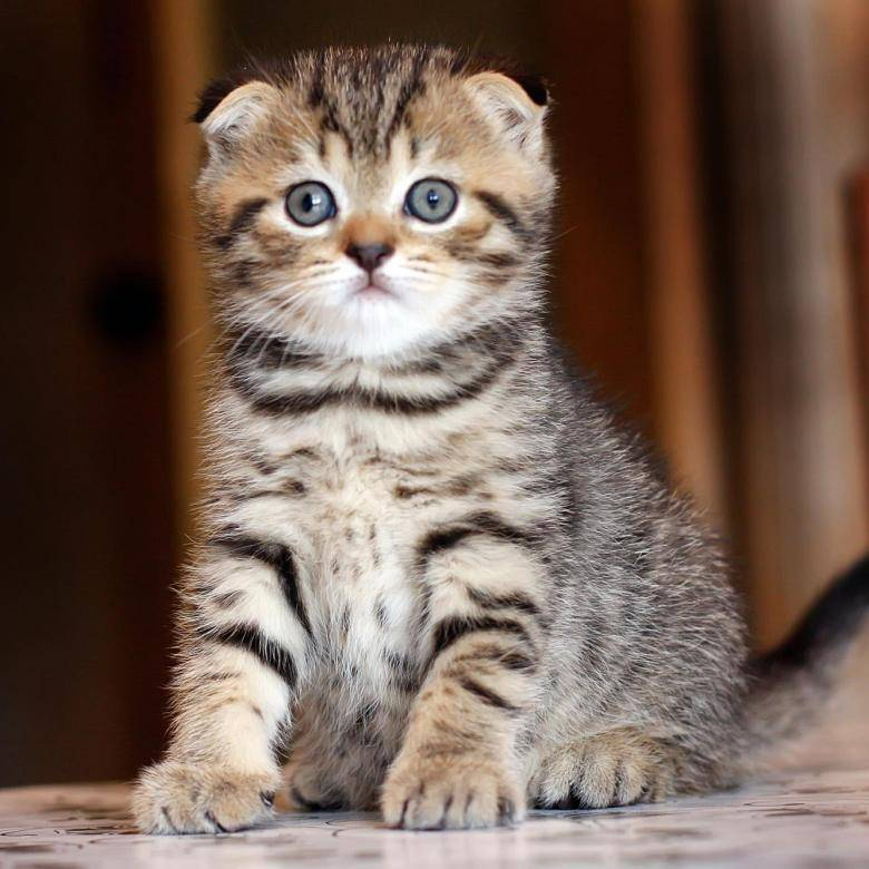 Имена для кошек девочек вислоухих