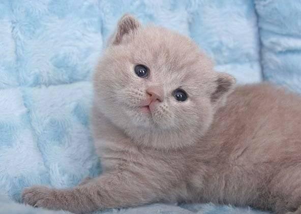 таком лиловый окрас шотландских кошек фото имя актера саид