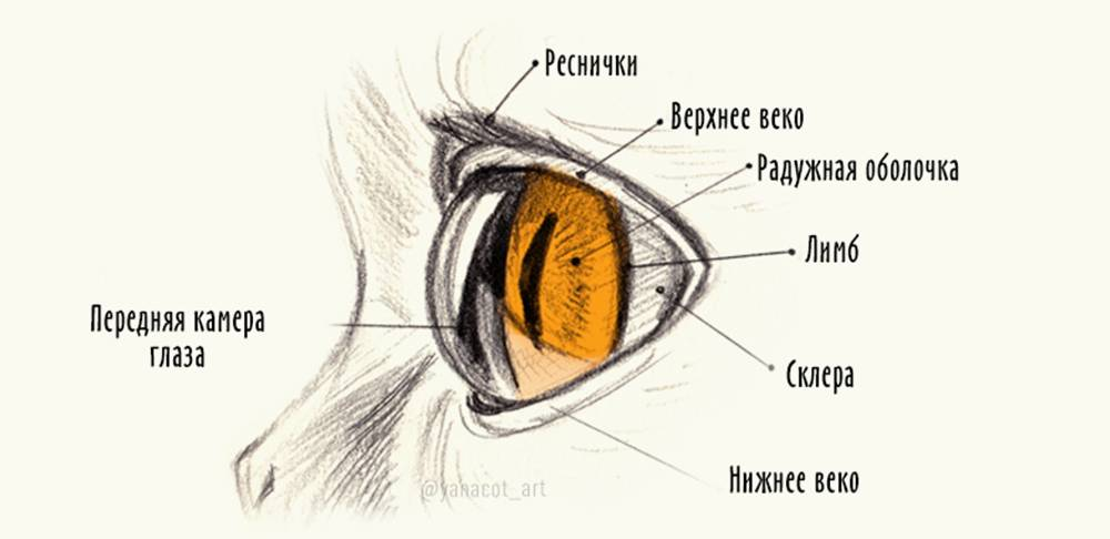 Строение глаза кошки и кота: схема, фото