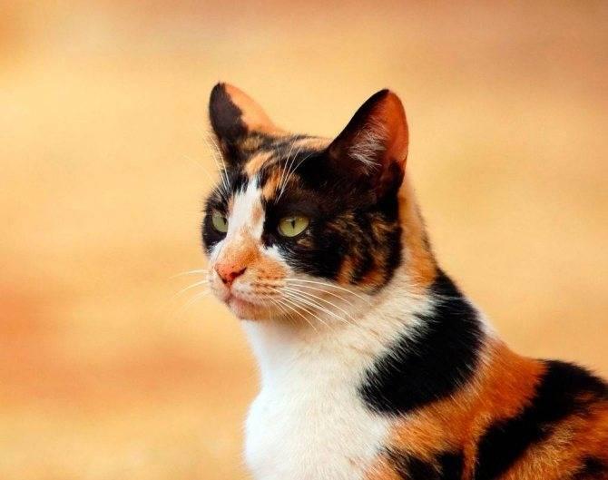 Трехцветная кошка в доме: приметы которые с ней связаны - помощник удачи