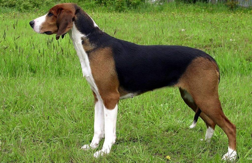 Эстонская гончая — фото, описание породы собак, характер